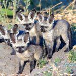 Bat Eared Fox, Linyanti, Botswana