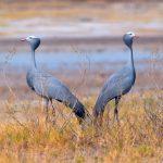 Blue Crane, Etosha Pan, Namibia
