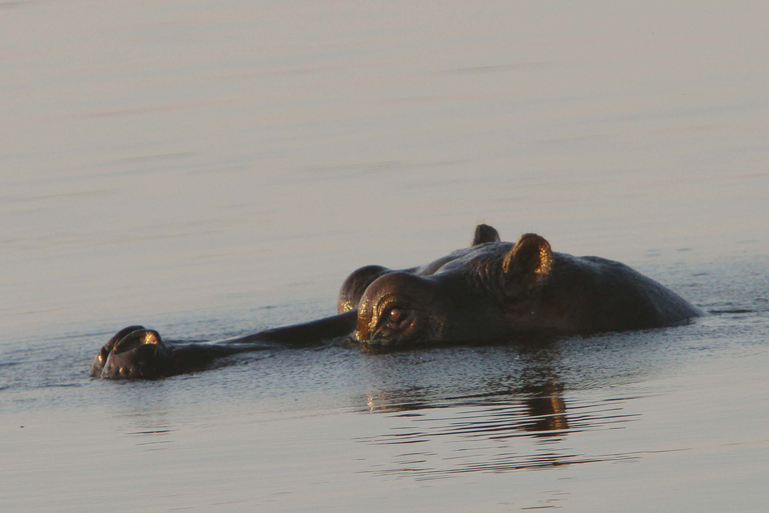 Hippo, Queen Elizabeth National Park, Uganda