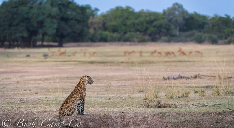 Leopard scouting the land